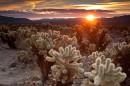 约书亚树国家公园  日落下的仙人掌