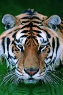 绿水中的老虎头