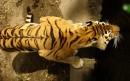 老虎健壮的背部
