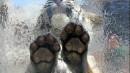 老虎水中的爪子