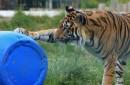 老虎玩蓝色的水桶
