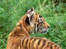老虎的后背