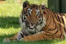 老虎趴在草地吐舌头