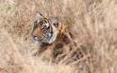 草地上发呆休息的老虎