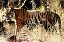 落日余晖下的老虎