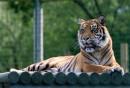 趴在一排圆木上的老虎