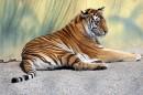 趴在墙下的老虎