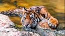 趴在水里凉快的老虎