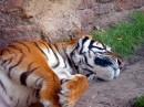 躺在地上缩手的老虎