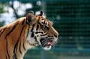 铁网里热到吐舌头的老虎