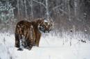 雪天沾雪的老虎