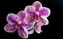 一对紫色蝴蝶兰