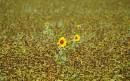 草地上一对小向日葵